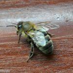 Typische Augustowska Biene