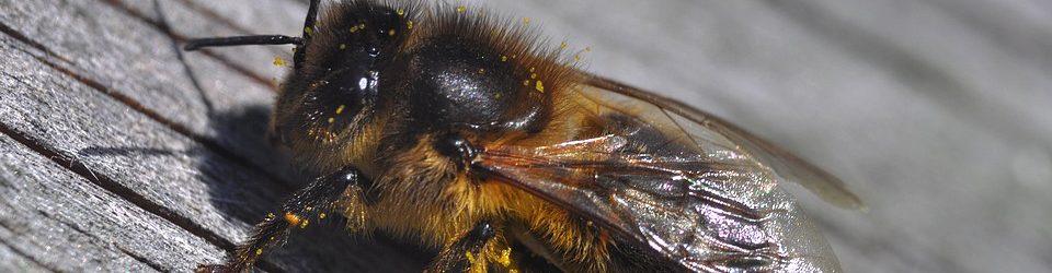 Die Dunkle Biene