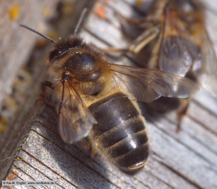 Dunkle Biene Apis mellifera mellifera